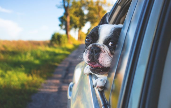 car-spring-dog